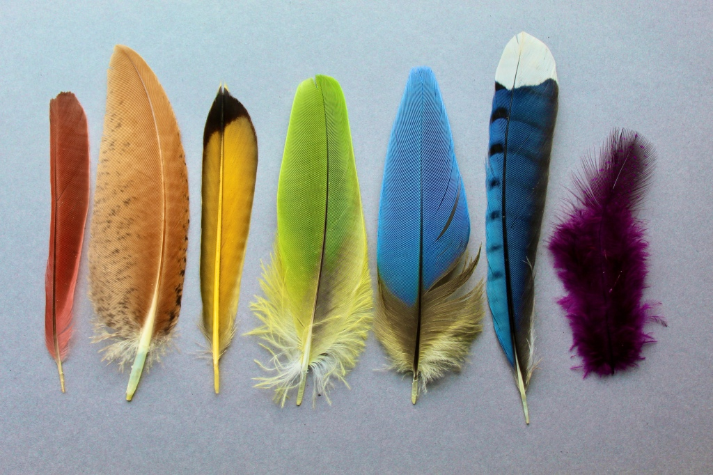 A set of 7 feathers in all colors of the rainbow. From left to right: Northern Cardinal, Indian Peafowl, Northern Flicker, Amazon Parrot, Blue-and-Yellow Macaw, Blue Jay, and a purple-dyed Helmeted Guineafowl feather.